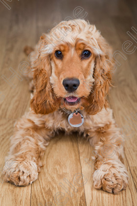 Amber Cocker Spaniel Dog